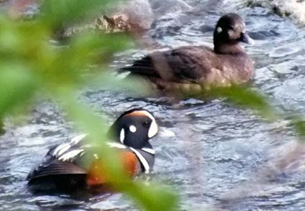 Harlequin ducks on Skykomish River Washington